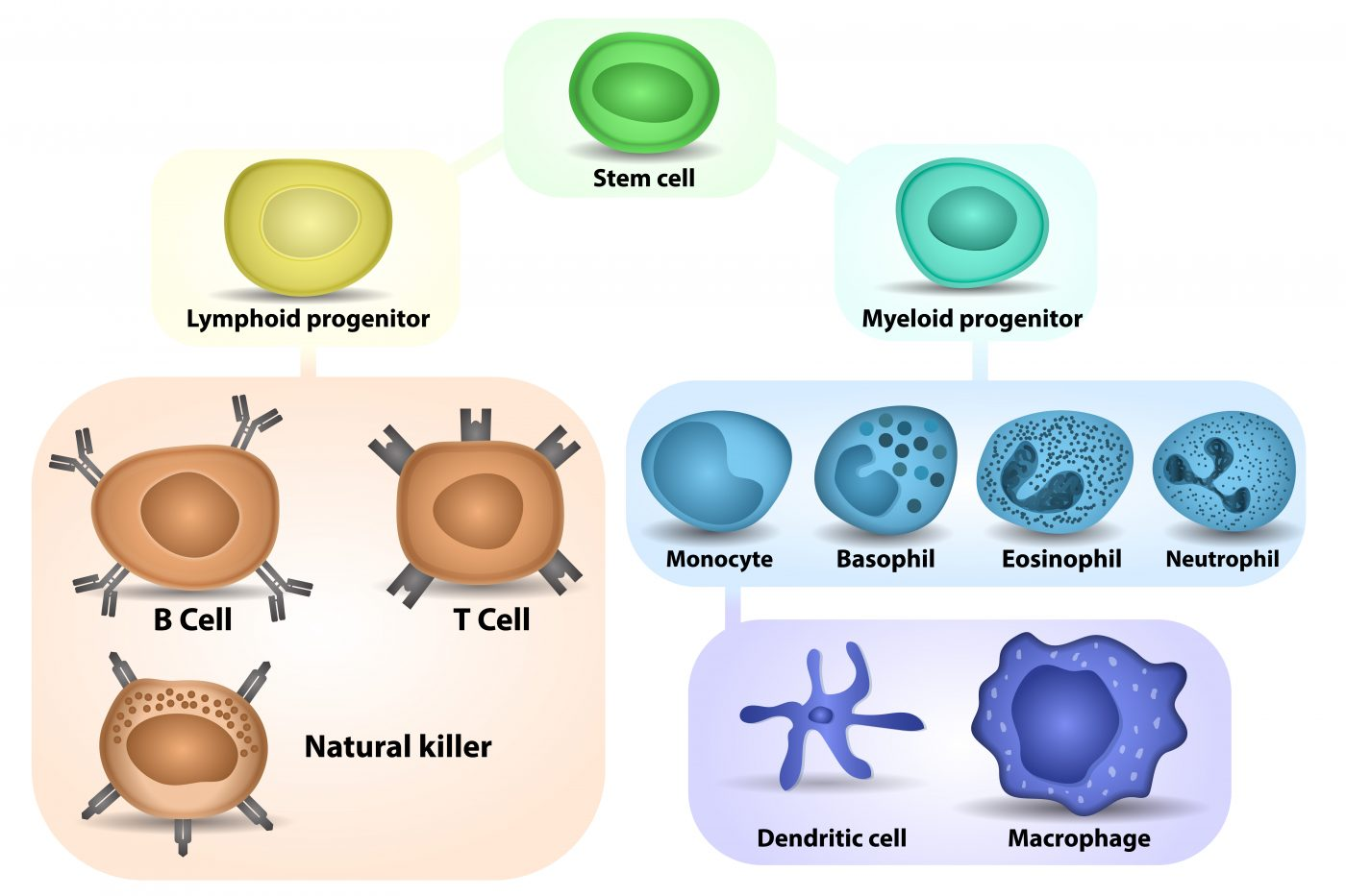 Study Finds Molecule Can Differentiate Immune Cells