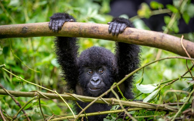 Gorillas may transmit viruses causing lymphoma, leukemia